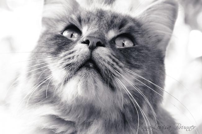 Katzenschnute
