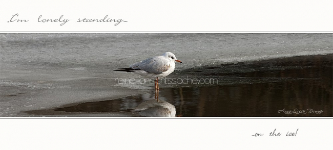 seagull on ice