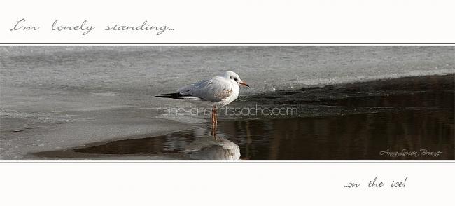 seagull on ice